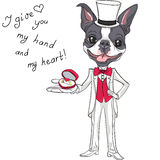 Vector fashion elegant groom dog Boston Terrier Royalty Free Stock Photography
