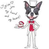 Vector fashion elegant groom dog Boston Terrier Royalty Free Stock Photography