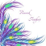 Vector feathers peacock. Color background Royalty Free Stock Photo