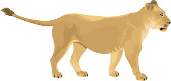 vector Female lion Lioness Royalty Free Stock Photos