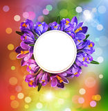 Vector festive background with blue crocuses and a round frame ( Stock Photo
