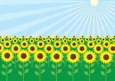 Vector field of sunflowers in sun day. Yellow sunflowers and sun in summer Stock Photography