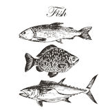 Vector fish sketch drawing - salmon, trout, carp, tuna. hand drawn sea food illustration. S Royalty Free Stock Image