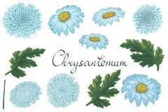 Vector floral illustration with chrysanthemum. vector illustration