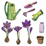 Vector floral illustration with crocuses. Isolated elements of purple crocuses on a white background. Various elements for spring season floral design vector illustration