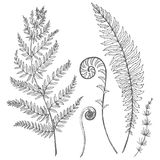 Vector floral set. Beautiful vector set with hand drawn fern leaves Stock Photo