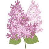 Vector flowers of lilac. Illustration for design Royalty Free Stock Photo