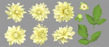 Vector flowers of yellow dahlia with buds and leaves isolated. A. Set of elements for design, wedding cards and invitations, holidays vector illustration