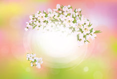 Vector frame blossoming cherry tree. Royalty Free Stock Image