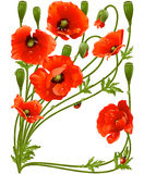 Vector frame with red poppies and ladybug Royalty Free Stock Photo