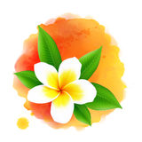 Vector frangipani flower on orange watercolor Royalty Free Stock Images