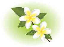 vector frangipani flowers Royalty Free Stock Photography