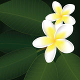 vector frangipani flowers Stock Photos