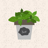 Vector - Fresh basil herb in a flowerpot. Aromatic leaves used t. O season meats, poultry, stews, soups, bouquet granny Royalty Free Stock Photography