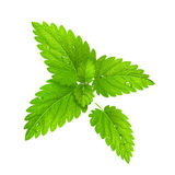 Vector. Fresh mint isolated on a white background Stock Images