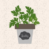 Vector - Fresh parsley herb in a flowerpot. Aromatic leaves used. To season meats, poultry, stews, soups, bouquet granny Royalty Free Stock Photos