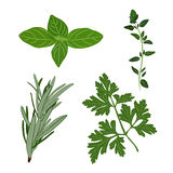Vector fresh parsley, thyme, rosemary, and basil herbs. Aromatic. Leaves used to season meats, poultry, stews, soups, Bouquet granny Royalty Free Stock Image