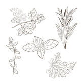 Vector fresh parsley, thyme, rosemary, and basil herbs. Aromatic Royalty Free Stock Images