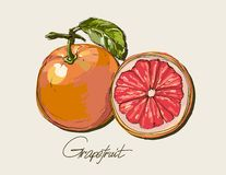Vector fresh ripe grapefruit with leaves. Royalty Free Stock Photos