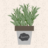 Vector - Fresh rosemary herb in a flowerpot. Aromatic leaves use Royalty Free Stock Photo