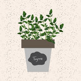 Vector - Fresh thyme herb in a flowerpot. Aromatic leaves. Used to season meats, poultry, stews, soups, bouquet granny Stock Photos