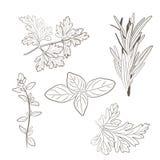 Vector frische Petersilie, Thymian, Rosmarin und Basilikumkräuter aromatisch Lizenzfreie Stockbilder