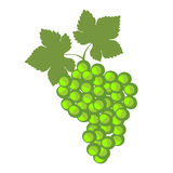 Vector fruits illustration. Detailed icons of green grape Royalty Free Stock Images