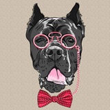 Vector funny cartoon hipster dog Cane Corso Stock Photos