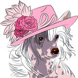 Vector funny cartoon hipster dog Chinese Crested breed. Hipster dog Chinese Crested breed in a pink hat with roses Royalty Free Stock Images