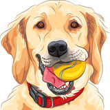 Vector funny dog breed Golden Retriever with ball Stock Photos