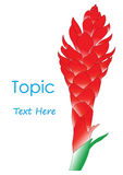 The Vector of Galangal Flower. The Vector of The red Galangal Flower Stock Photography