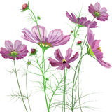 Vector garden flowers, Cosmos bipinnatus Royalty Free Stock Photo