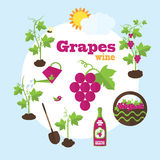 Vector garden illustration in flat style. Planting grapes, harve Stock Photos