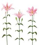 De bloem van de lelie vector illustratie