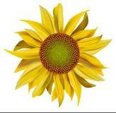 Vector gele mooie zonnebloem Stock Fotografie