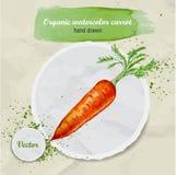Vector gezeichnete Karotte des Aquarells Hand mit Blättern und Aquarelltropfen auf rundem Papierstück Lizenzfreies Stockfoto
