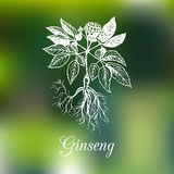 Vector ginseng illustration on blurred background. Botanical drawing in engraving style. Green organic, eco herb. Stock Photo
