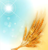 Vector  with gold ears of wheat and sun rays Royalty Free Stock Images