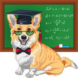 Vector graduated dog Pembroke Welsh corgi Stock Photos