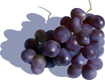 Vector grape. Vector illustration of  red grape Royalty Free Stock Photo