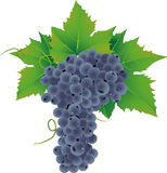 Vector Grape Royalty Free Stock Photography