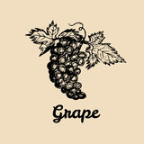 Vector grape illustration. Vine bunch with leaves logo. Hand sketched winemaking element in engraved style. Stock Photos