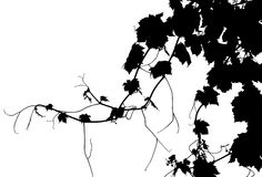 Vector Grape Vine. Back-lit grape vine. Black and white. 1/2 of copy space Stock Photography