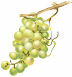 Vector grapes Stock Image