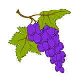 Vector grapes. Stock Images