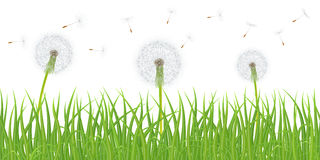 Vector grass and dandelions Royalty Free Stock Image