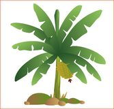 Vector green banana tree fresh natural garden fruit royalty free stock photography