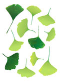 Vector green ginkgo-leaf Stock Image