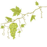 Vector green grapes. Vector green grapes with leaves isolated on white Stock Images