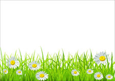 Vector green grass and daisies. On a white background Royalty Free Stock Photo